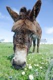 Donkey, Kerry, Ireland Royalty Free Stock Photo