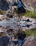 Donkey laden with backpacks looking at a mountain lake royalty free stock photo