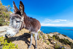 Donkey with Lake Titicaca in Background Stock Photos