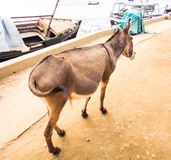 Donkey in Lamu. Walking on the seafront Stock Image