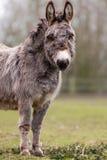 Donkey Royalty Free Stock Photography