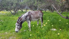 Donkey. A donkey led to a field to eat Royalty Free Stock Image