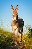 Donkey Royalty Free Stock Images