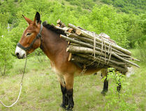 Donkey with load. A donkey carrying a load of wood Royalty Free Stock Photo