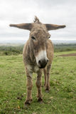 Donkey with long ears Stock Images