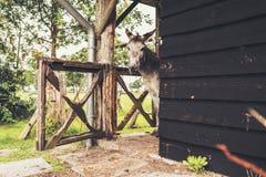 Donkey looking around corner of stable. Stock Photo
