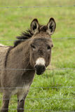 Donkey Looking Through Barbed Wire Fence. This is a donkey, ass, or burro, Equus africanus asinus looking through a barbed wire fence Stock Image