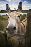 The Donkey. A donkey looking at camera stock photography