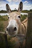 The Donkey Stock Photography