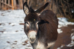 Donkey looking at the camera. Beast of burden Royalty Free Stock Photo