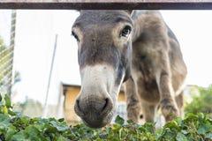 Donkey looking at camera Stock Photo
