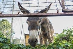 Donkey looking at camera Stock Image