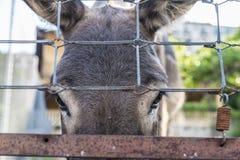 Donkey looking at camera Royalty Free Stock Image