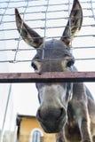 Donkey looking at camera Royalty Free Stock Photo