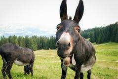 A donkey looking at the camera Royalty Free Stock Image