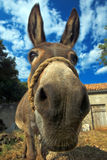 Donkey. Looking in camera pictured with wide lens Royalty Free Stock Images
