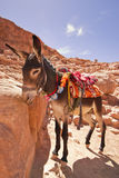 A donkey looking down. Royalty Free Stock Image