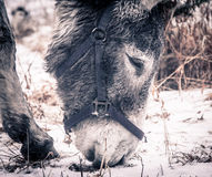 Donkey looking for food. Royalty Free Stock Images