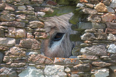 Donkey looking through a hole in the wall Stock Photography