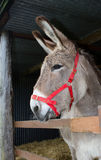 Donkey looking out from within his stable Stock Images