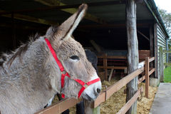Donkey looking out from within his stable Royalty Free Stock Photography