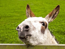 Donkey looking over a fence Royalty Free Stock Images