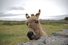 Donkey Looking Over a Stone Wall Stock Images
