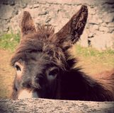 Donkey looking over stone wall Stock Image