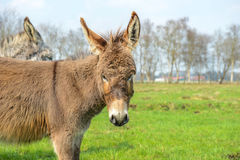 Donkey looking at you Stock Photos