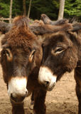 Donkey love. Two donkies close together Stock Image