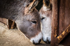 Donkey in love Stock Images