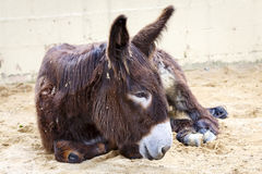 Donkey lying Stock Photos