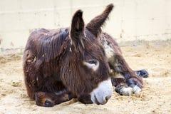 Donkey lying stock photos