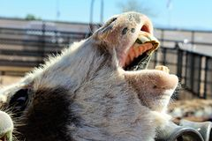Donkey. Making noise with mouth open waiting for food stock photography
