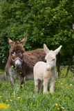 Donkey mare with white foal Royalty Free Stock Photo