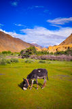 Donkey in the Markha Valley. While trekking the Markha Valley in Ladakh, India, I've stumbled on this little lovely oasis. A place where donkeys and horses can Stock Photography