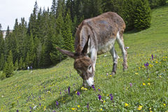 Donkey on a meadow Stock Photography