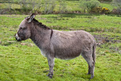 Grey donkey on meadow. Donkey in meadow in profile. Nice photograph of animal Stock Images