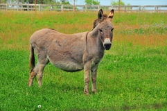 Donkey in the Meadow. A donkey in a rural meadow Stock Images