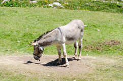 Donkey in a meadow Stock Photography