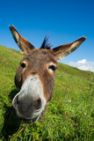Donkey on a meadow in the high mountains in summer. Day Royalty Free Stock Image