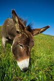Donkey on a meadow in the high mountains in summer Royalty Free Stock Photo