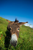 Donkey on a meadow in the high mountains in summer. Day Royalty Free Stock Photos