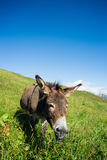 Donkey on a meadow in the high mountains in summer. Day Royalty Free Stock Photo