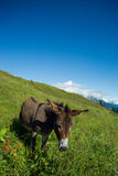 Donkey on a meadow in the high mountains in summer. Day Royalty Free Stock Photography