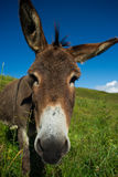 Donkey on a meadow in the high mountains in summer Stock Photos