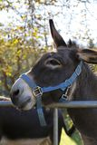 Donkey on meadow, pasture, leaks in the salt, salt stone. Donkey on the belt, pasture, leaks in the salt, salt stone Stock Photography
