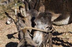Donkey on a meadow in Praglia plateau in Liguria stock photography