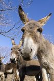 Donkey on a meadow in Praglia plateau in Liguria royalty free stock photos