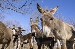 Donkey on a meadow in Praglia plateau in Liguria royalty free stock images